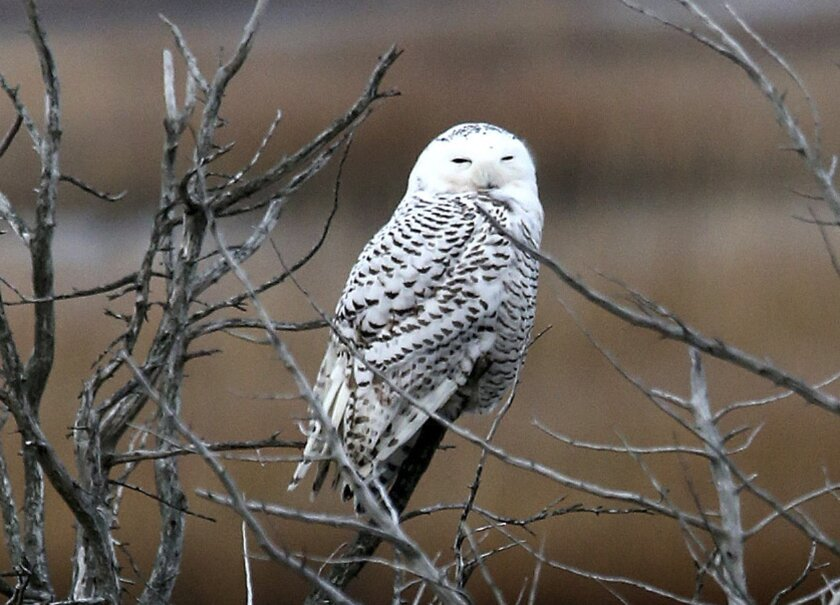 FILE - In this Dec. 4, 2013, file photo, a snowy owl rests on a branch at the Edwin B. Forsythe National Wildlife Refuge in Galloway Township, N.J. The Port Authority of New York and New Jersey says that over the past two weeks five planes at John F. Kennedy International, Newark Liberty International and LaGuardia airports have been struck by snowy owls. In a statement released Monday, Dec. 9, 2013, the agency said it is working with the New York State Department of Environmental Conservation to immediately implement a program to trap and relocate snowy owls that pose a threat to aircraft. An unusual number of snowy owls have been spotted in the northern U.S. this year and have been setting up winter residence at airports, fields and beaches far south of their normal range. (AP Photo/The Press of Atlantic City, Vernon Ogrodnek, File) MANDATORY CREDIT; INTERNET OUT