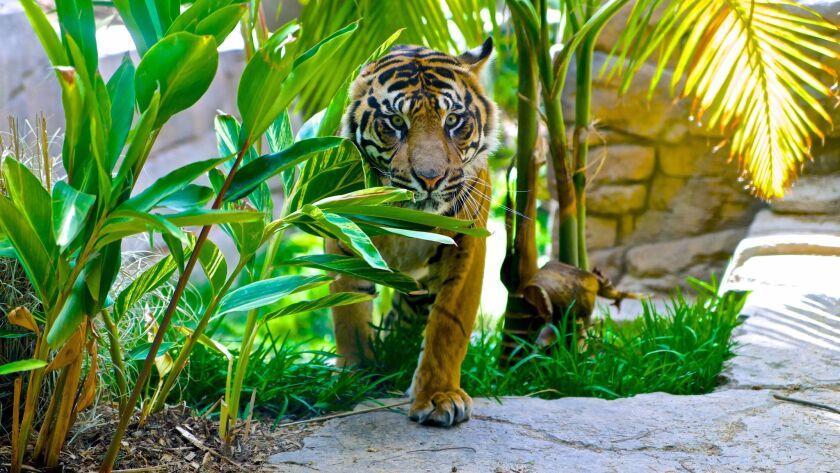 ASMT338703 - May 21, 2014 Conrad, a two year old Sumatran tiger emerges from the foliage in the Tul