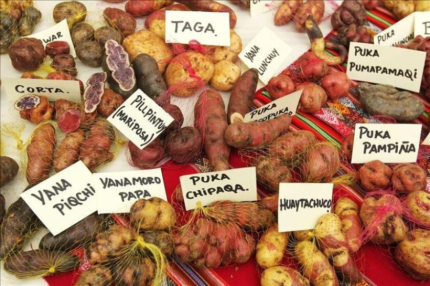 Researchers have identified and catalogued 130 varieties of native potatoes in the northern province of La Libertad, according to officials at Peru's National Institute of Agricultural Innovation, or INIA. EFE/File