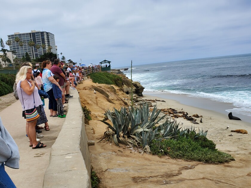 Guests to Scripps Park line the wall overlooking Point La Jolla to view the sea lions hauling out there.