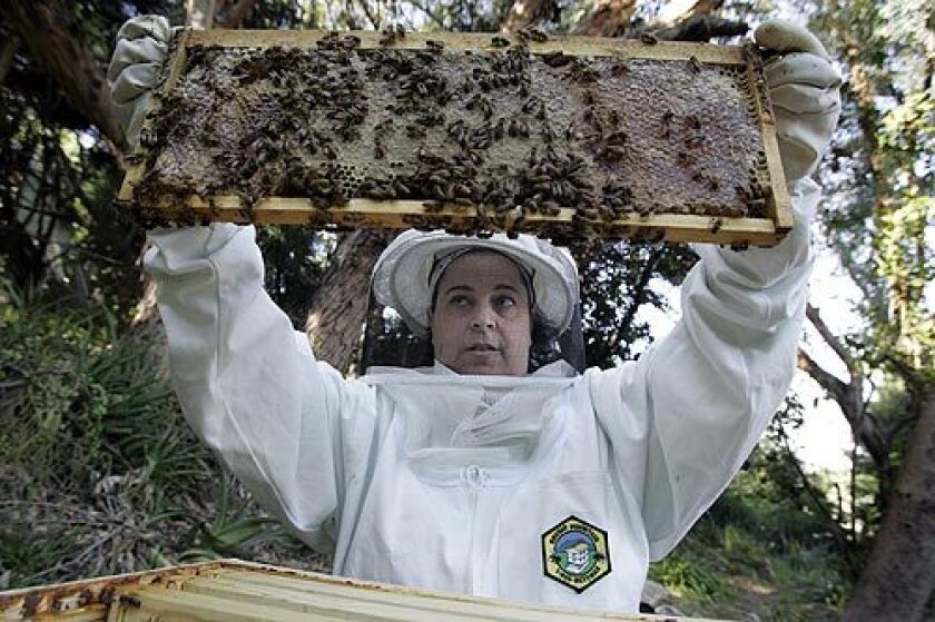 Amy Seidenwurm, pictured, and her husband, Russell Bates, are urban beekeepers who have 50,000 honeybees in the backyard of their Silver Lake home.