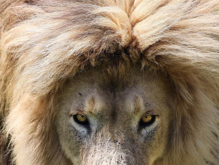 Vista del rostro de un león. EFE/Archivo