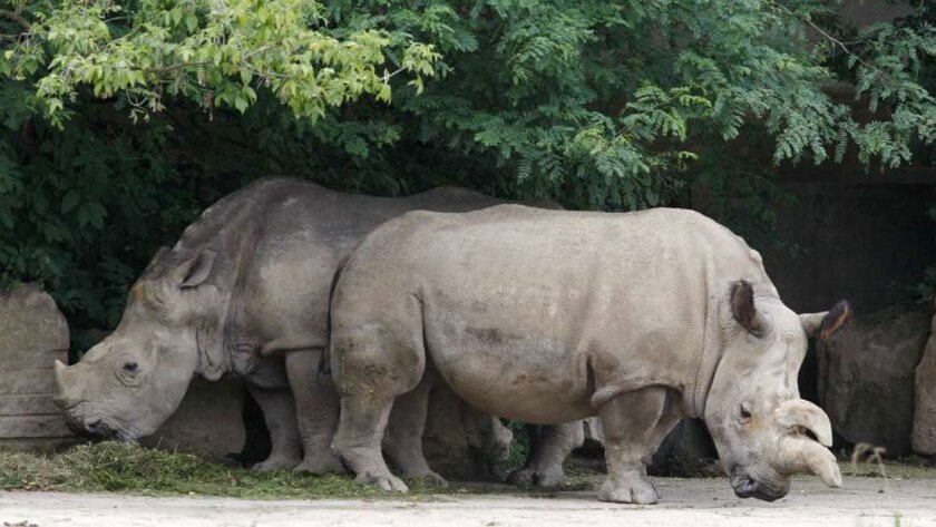 Northern white female rhino Nabire, right, is shown at a Czech Republic zoo in 2011. At left is Natal, a southern white rhino.