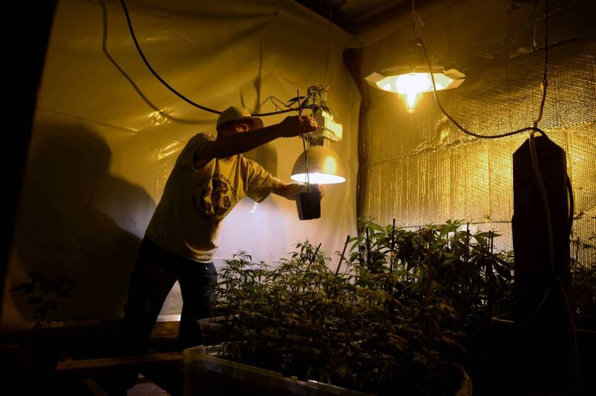 Colorado farmers growing hemp