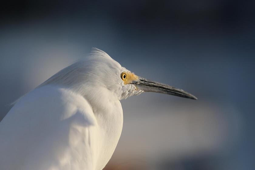 The snowy egret's piercing enables it to see tiny fish under the water.