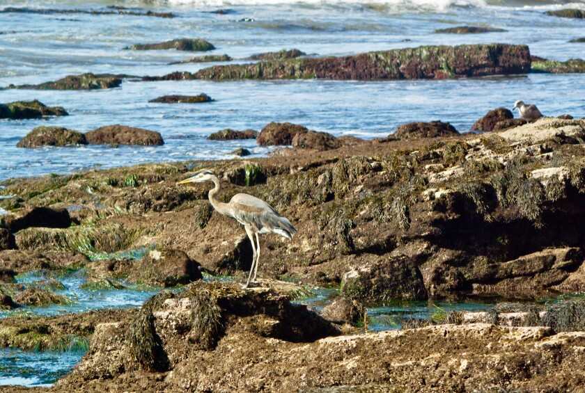 Great Blue Heron Wading in Tide Pools