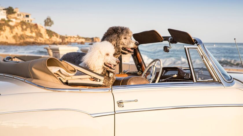 Poodles ride in a vintage car.