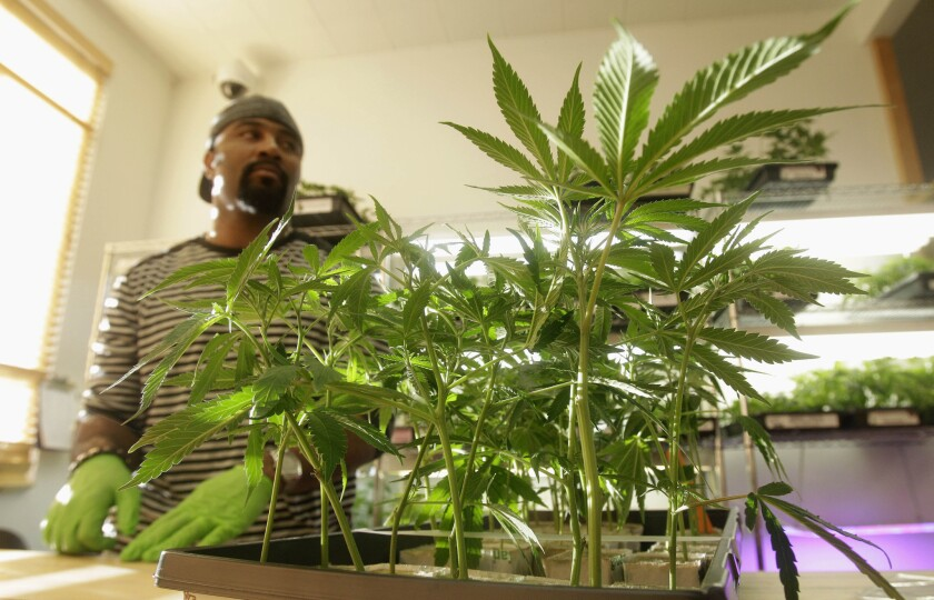 After years of fighting efforts to legitimize the cannabis industry, the League of California Cities and Police Chiefs Assn. have sponsored a bill designed to regulate marijuana more like a medicine. Above: Harborside Health Center employee Gerard Barber stands behind medical marijuana clone plants in Oakland.