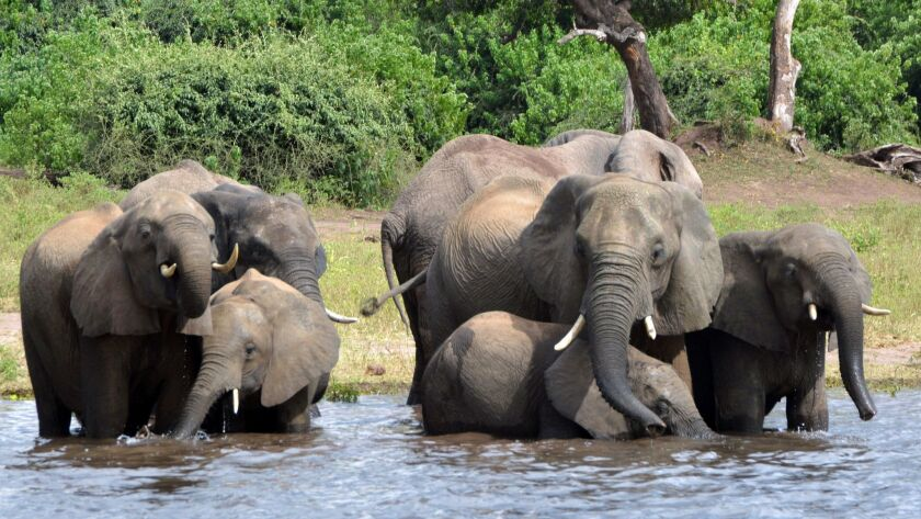 FILE - In this March 3, 2013 file photo elephants drink water in the Chobe National Park in Botswana