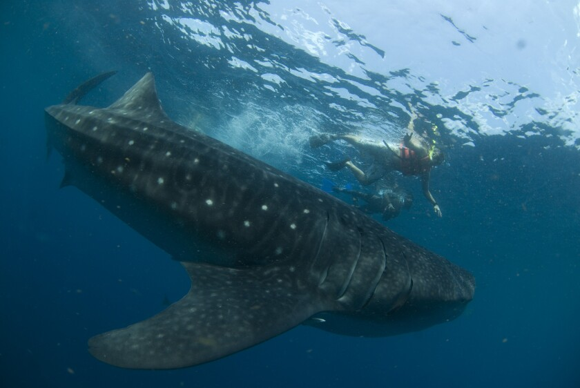 Whale Shark Festival is scheduled in Isla Mujeres, Mexico, June 21-23.