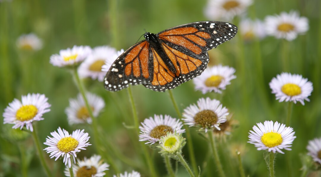 A monarch butterfly lands on a flower at Butterfly Farms in Encinitas