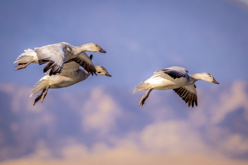 Snow geese prepare for a landing at the Sacramento Wildlife Refuge.