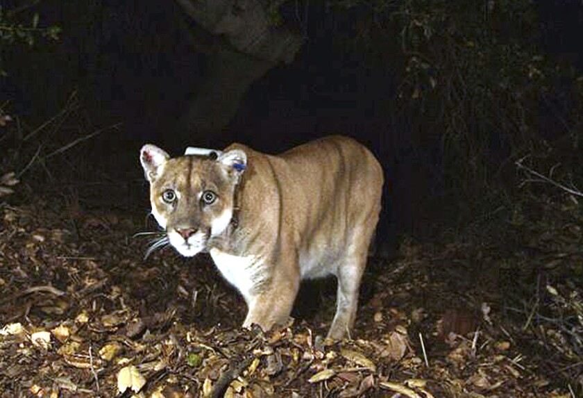 FILE - This November 2014 file photo provided by the U.S. National Park Service shows a mountain lion known as P-22, photographed in the Griffith Park area near downtown Los Angeles. Hoping to fend off the extinction of mountain lions and other species that require room to roam, California is building a mostly privately funded wildlife crossing over U.S. Highway 101 in Agoura, Calif. It will give big cats, coyotes, deer, snakes and other creatures a safe route to open space and better access to food and potential mates. The span will be the only animal overpass in a state where tunnels are more common. (National Park Service, via AP, File)