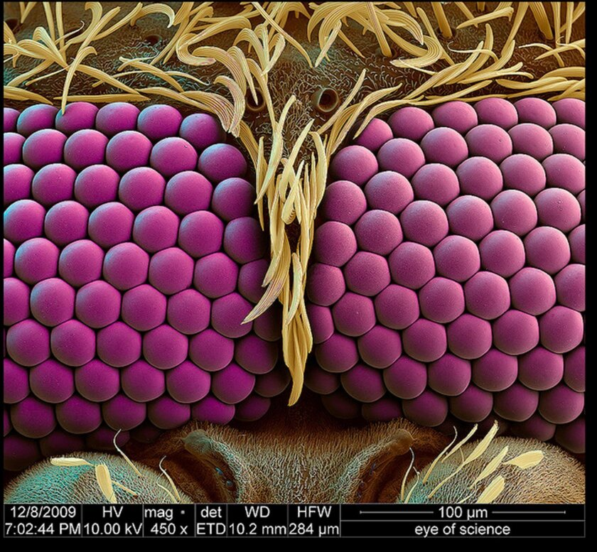 FEI's electron microscope image of mosquito eyes. Courtesy of Oliver Meckes.