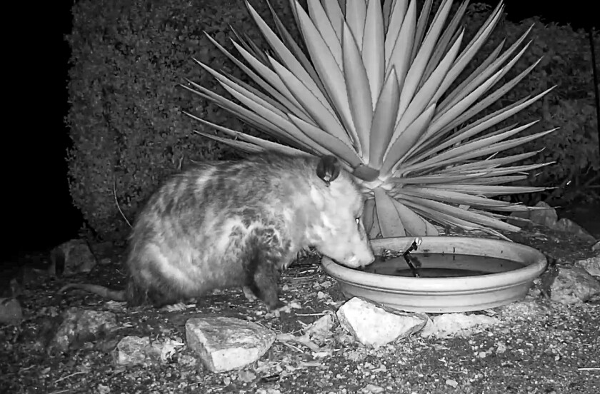 """An opossum drinking in the """"Possum Pond,"""" which is just a clay saucer filled with water."""