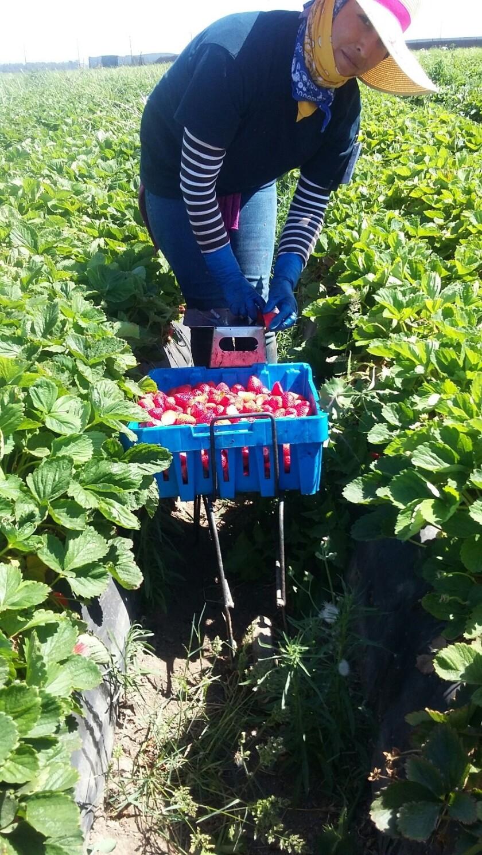 En medio del calor y la carga física, más mujeres irrumpen en los cultivos agrícolas