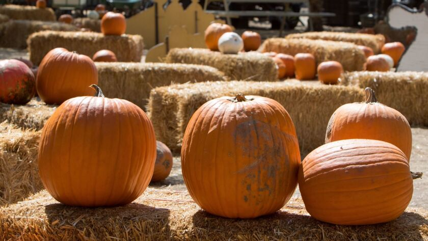 Pumpkins wait to be picked at Peltzer Farms in Temecula Wine Country Tuesday, Oct. 3, 2017. The farm is open daily from 9 a.m. to 8 p.m. In addition to the pumpkin patch the farm offers pony rides, pig races, a petting zoo, and other fall-themed attractions.