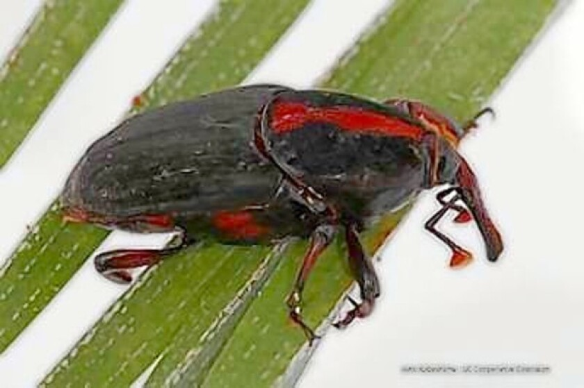 Weevils were discovered infesting this dying Canary Island date palm on Tuesday.