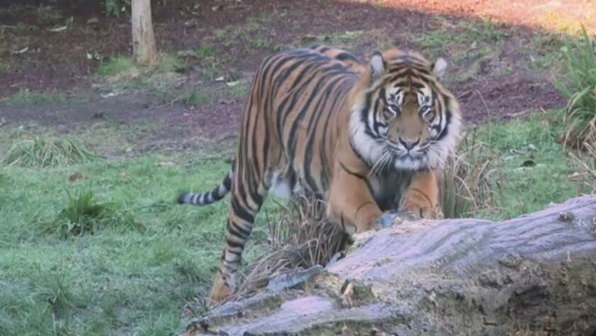 This image taken from video and made available by London Zoo, shows Sumatran tiger named Asim at Lon