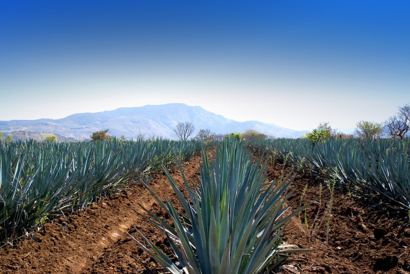 Agave field. (iStock)
