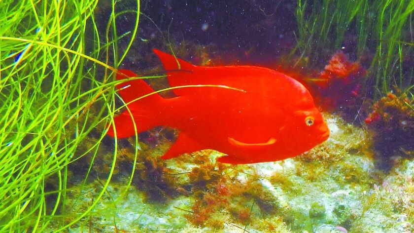 It's fun to see the bright orange garibaldis when snorkeling at Two Harbors and Avalon.