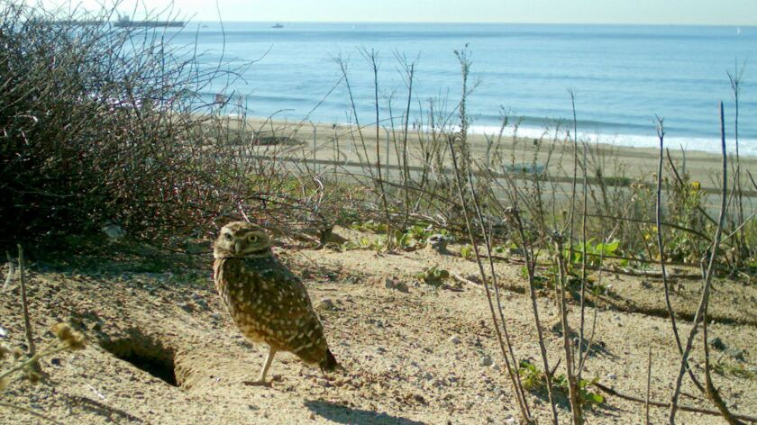 Photo of a burrowing owl captured at the LAX Dunes Preserve at the west end of the runways at LAX.
