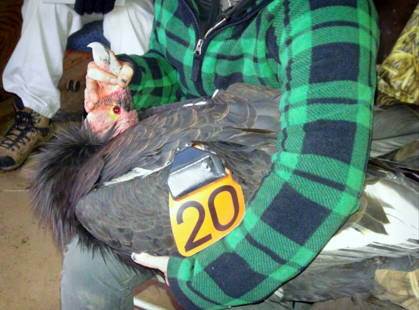 In this photo provided by the U.S. Fish and Wildlife Service, a California condor designated AC-4, whose captive breeding helped save the species, is re-branded as California condor 20 before its release at the Bitter Creek National Wildlife Refuge near Maricopa, Calif.