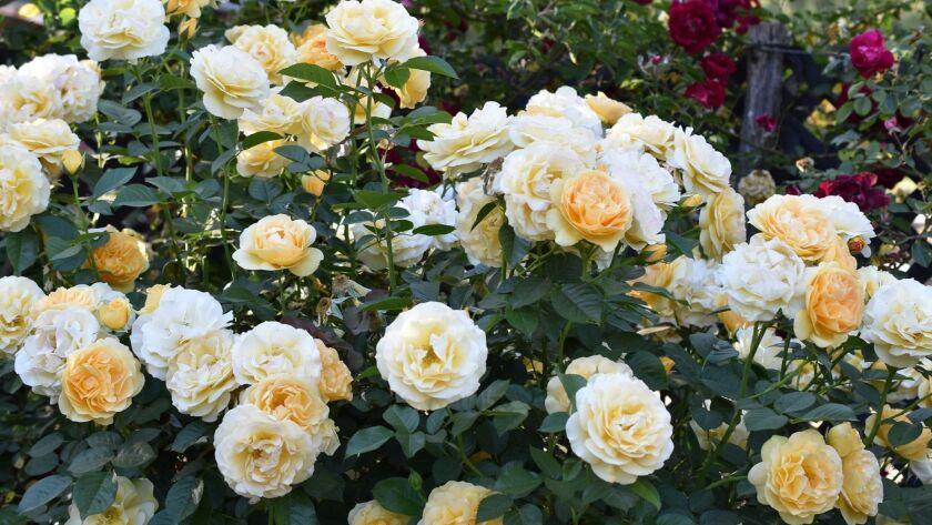 Julia Child, a very disease resistant golden butter yellow Tom Carruth floribunda rose blooms in hug