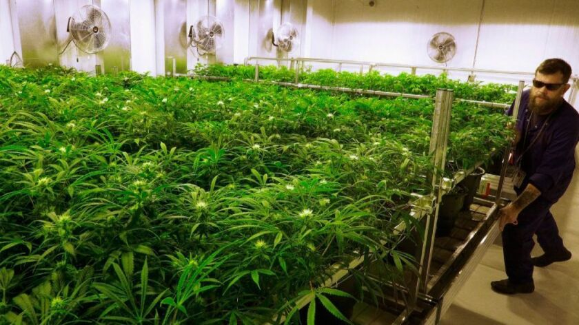 This Sept. 2015 file photo shows marijuana plants at a medical marijuana cultivation center in Albion, Ill.
