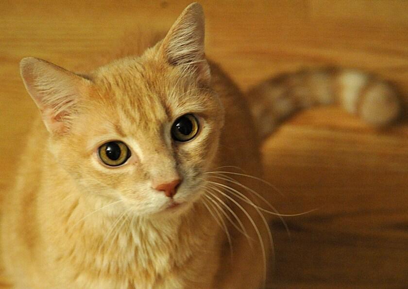 Cat genome