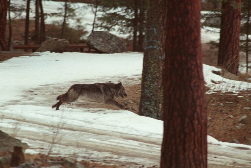 FILE - In this Jan. 14, 1995, file photo, a wolf leaps across a road into the wilds of Central Idaho. The Center for Biological Diversity, a conservation group, is asking the U.S. government to cut off millions of dollars to Idaho that's used to improve wildlife habitat and outdoor recreation opportunities in the wake of legislation that could lead to killing 90% of the wolves in the state. (AP Photo/Douglas Pizac, File)