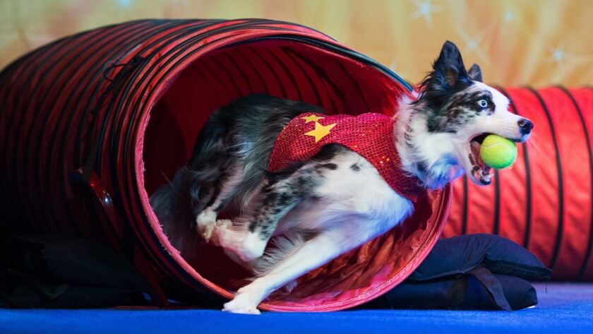 More than a dozen rescue dogs will show their skills at Stunt Dog Experience during two shows on March 31 at the Lewis Family Playhouse in Rancho Cucamonga.