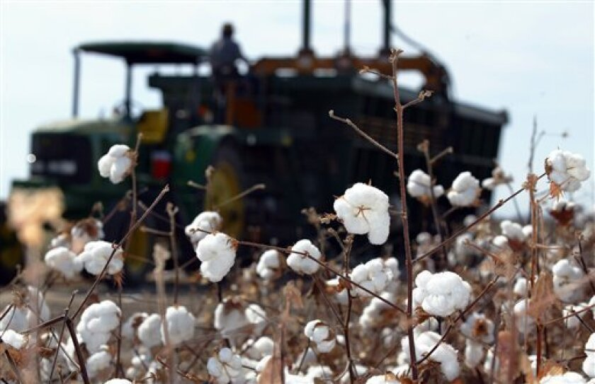 FILE - In this Oct. 5, 2004 file photo, a cotton harvester is seen behind a group of cotton boles in Tranquility, Calif. After two decades of decline, cotton is rebounding in California's fertile valleys. Low world cotton stocks coupled with high demand from the growing middle class in China and India is spurring cotton prices to historic highs, and California farmers are scrambling to take advantage of the unexpected white gold boom. Planting had slipped to a low of 200,000 acres two years ago from 1.3 million acres in 1979. (AP Photo/Gary Kazanjian, File)