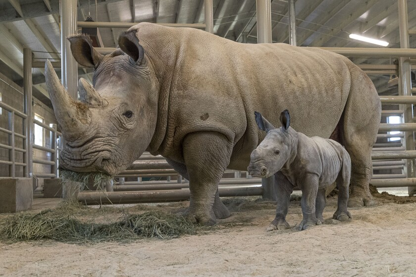 White Rhino Born