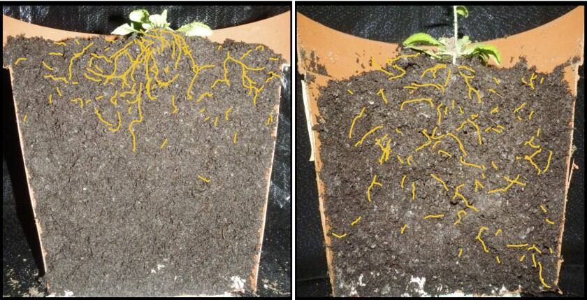Left, an Arabidopsis thaliana plant with shallow root system. Right: an Arabidopsis variant showing deeper root system. The differences were produced by altering a newly discovered gene that controls root growth.