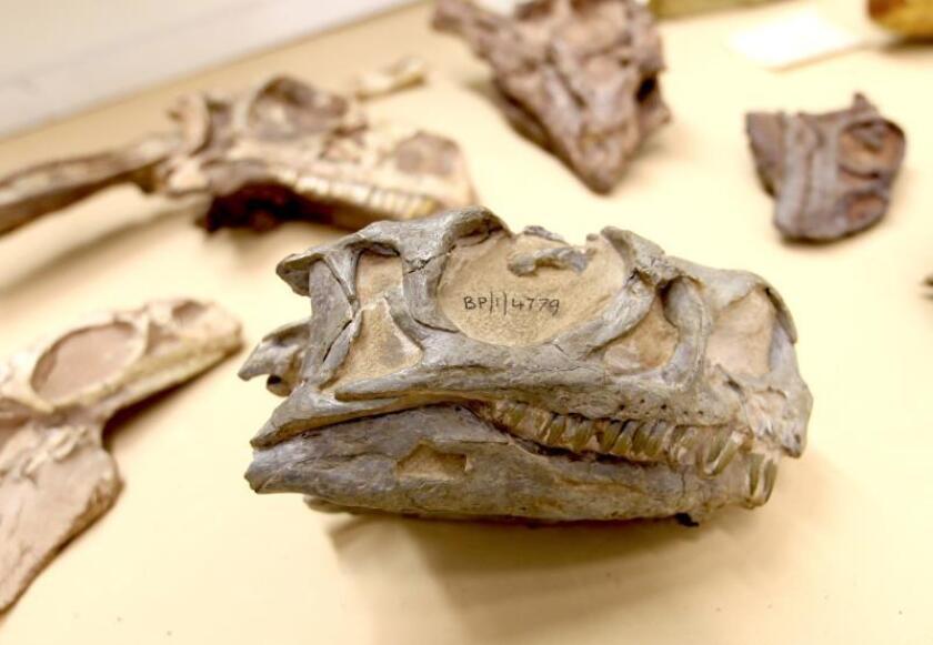 Hallan un nuevo tipo de dinosaurio en Sudáfrica con un fósil mal identificado
