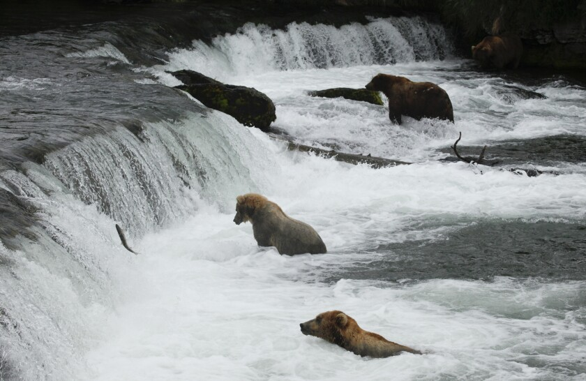 The brown bears in Alaska's Katmai National Park & Preserve grab the fish from the Brooks River and devour them by the dozens.