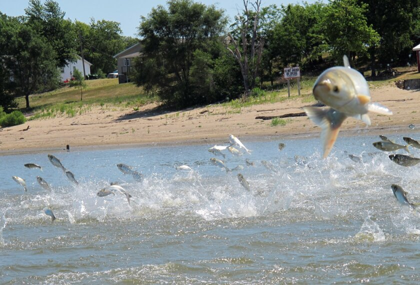 FILE - In this June 13, 2012 file photo, Asian carp, jolted by an electric current from a research boat, jump from the Illinois River near Havana, Ill. A years-long effort to find a strategy to keep the invasive Asian carp out of the Great Lakes appears to be coming up empty.  An advisory panel con