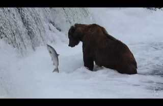 A Minute Away: Bears and salmon on Brooks River, Katmai, Alaska