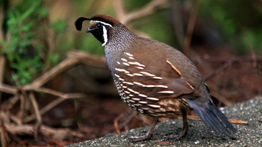 Birds that could live on the ground, like this quail does today, had an evolutionary advantage after the asteroid that wiped out the dinosaurs also destroyed Earth's forests.