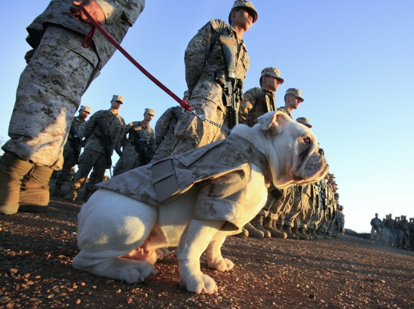 Six-month old English bulldog Smedley Butler is in formation with members of the 3rd Recruit Training Battalion, during the Eagle and Globe and Anchor ceremony at Camp Pendleton, final act before becoming a Marine. His duty will be as the Marine Corps Recruit Depot's mascot in San Diego.