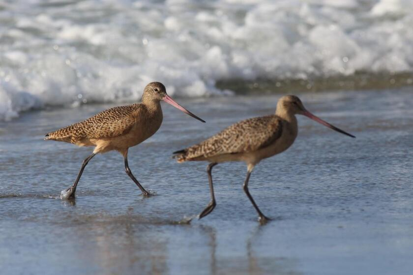 A pair of marbled godwits wander through the swash zone. Note the slightly upturned very long beak.