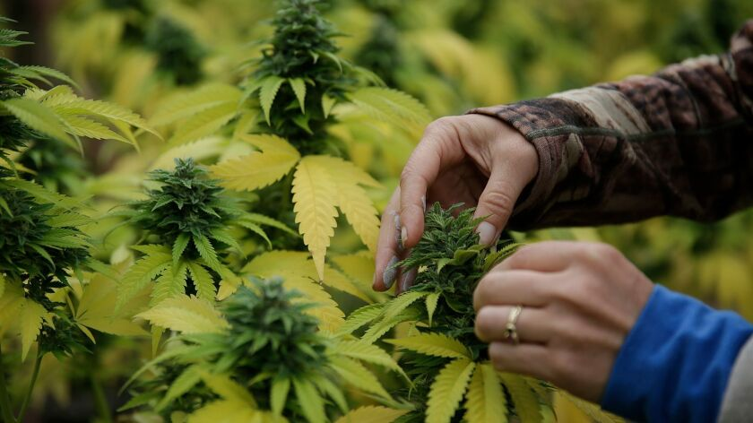 HUMBOLDT COUNTY, CA, JUNE 5, 2016 - Sunshine Johnston, 43, squeezes a bit of oil from a cannabis bud