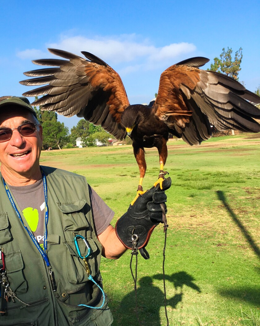 Falconer Bob Gordon with his Harris hawk Huxley for the San Diego Natural History Museum