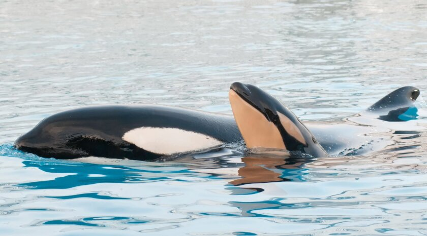 Kasatka with her newborn calf at SeaWorld San Diego in February of last year. / photo courtesy of SeaWorld