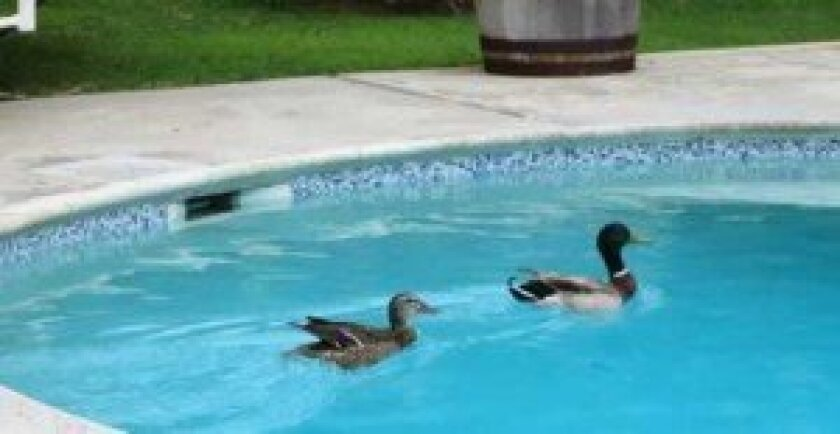 """""""Quick"""" and """"Quack"""" enjoy a cruise in Inga's pool."""