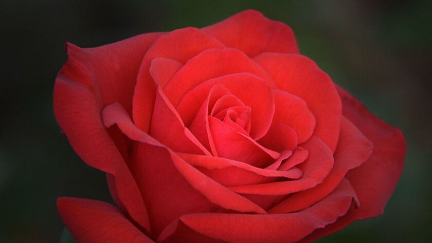 Powerhouse is a popular red rose in the miniflora category.