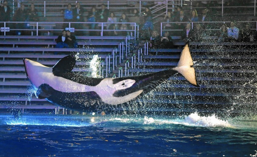 6c14fd84d5 Are SeaWorld's whales better off staying in their glass-and-concrete ...
