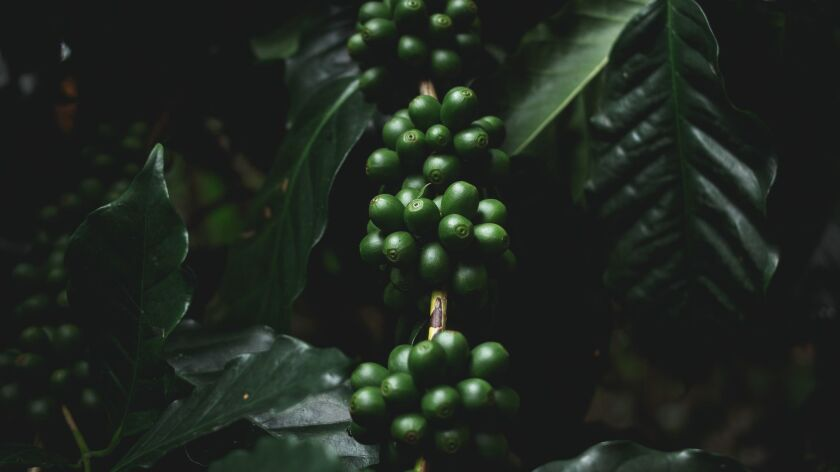 Close-Up Of Coffee Beans Growing On Plants ** OUTS - ELSENT, FPG, CM - OUTS * NM, PH, VA if sourced