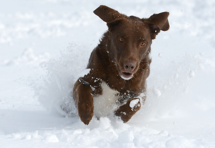 Atticus, a 2-year-old chocolate lab mix, gets ready to pounce on a tennis ball in Fort Collins, Colo., on Monday after a spring storm brought more than a foot of snow to parts of Colorado, Wyoming and Nebraska and thunderstorms and tornadoes to the Midwest.